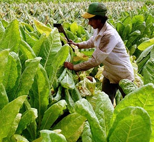 cutting tobacco