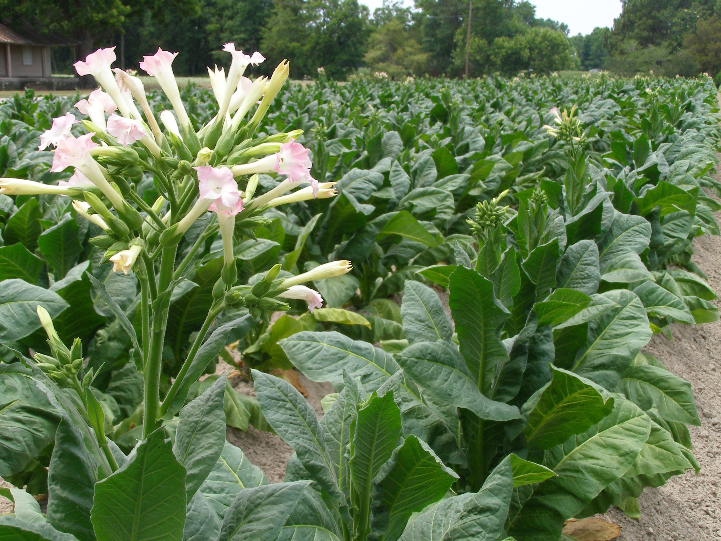 tobacco-flowers